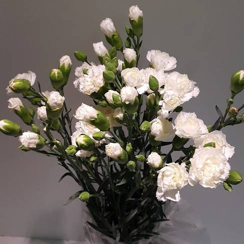<h4>Dianthus Spray White (Carn)</h4>