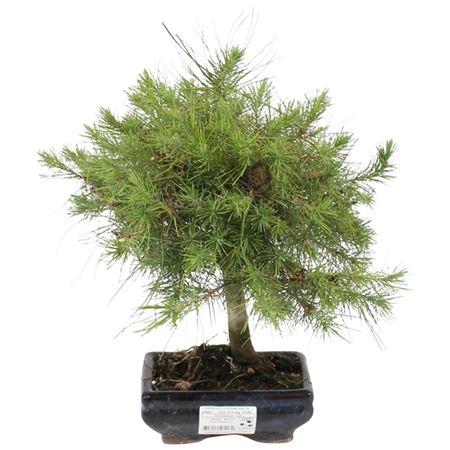 <h4>Bonsai Outdoor Deluxe Pinus Halepensis Ø15cm</h4>