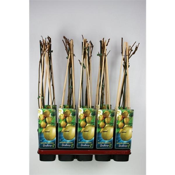 <h4>Actinidia deliciosa 'Boskoop' C2</h4>