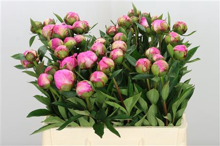 <h4>Paeonia Dr A Fleming</h4>