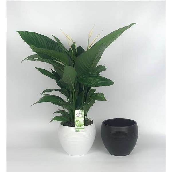 <h4>Spathiphyllum Bingo Cupido 17cm in bolpot zwart en wit 20cm</h4>