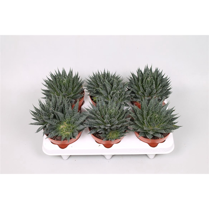 <h4>Aloe Aristata</h4>