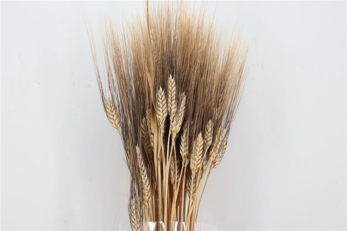 <h4>Dried Triticum Black Beard 200gr Pb</h4>