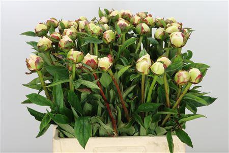 <h4>Paeonia Flor Nicholls</h4>