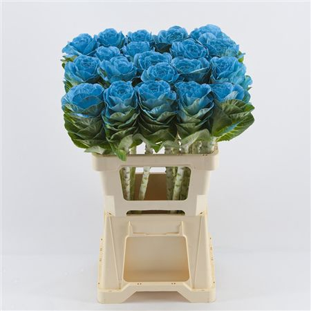 <h4>Brassica Light Blue</h4>