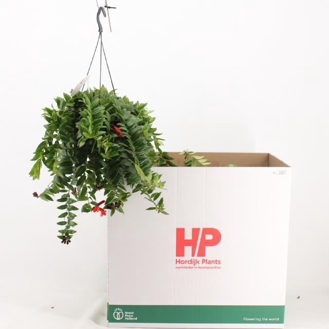 <h4>Aeschynanthus Caro Improved</h4>