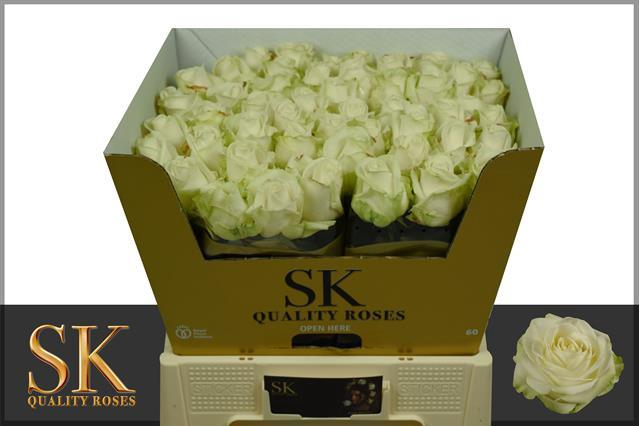 <h4>R GR Avalanche+ SK Roses Gold</h4>