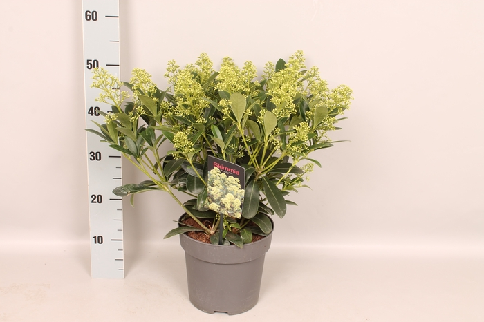 <h4>Skimmia jap. 'Finchy' 20/30 bloem</h4>