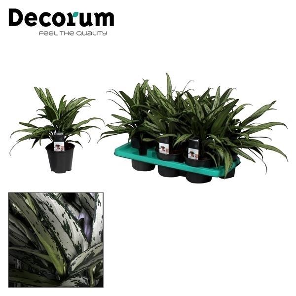 <h4>Aglaonema Cutlass (Decorum)</h4>