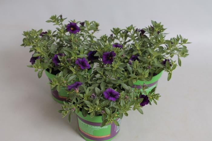 <h4>Calibrachoa MiniFamous Neo Royal Blue 16</h4>