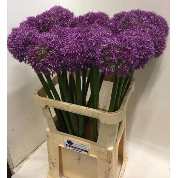 <h4>Allium Globemaster</h4>