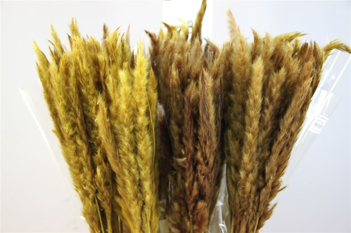 <h4>Pampasgras Dried Fluffy Yellow (20pcs)</h4>