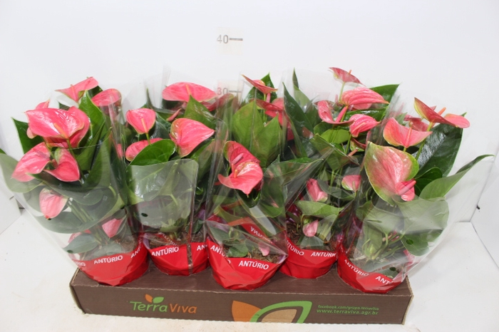 ANTHURIUM SWEET DREAM P12