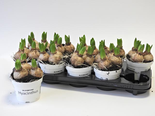 <h4>Hyacin White Pearl</h4>