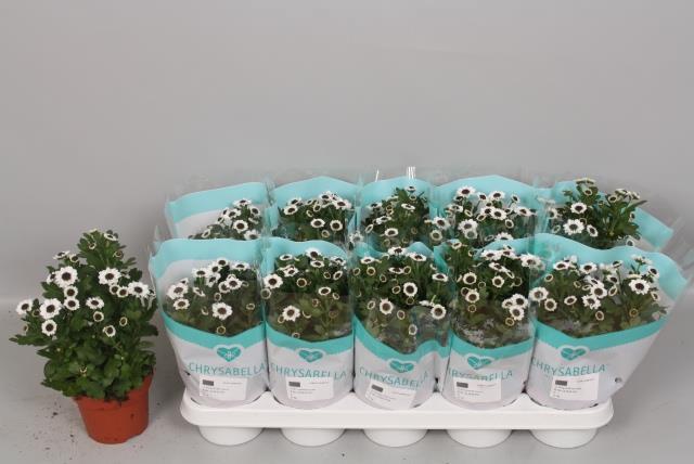 <h4>Chrysanthemum Yin Yang 12Ø 26cm</h4>