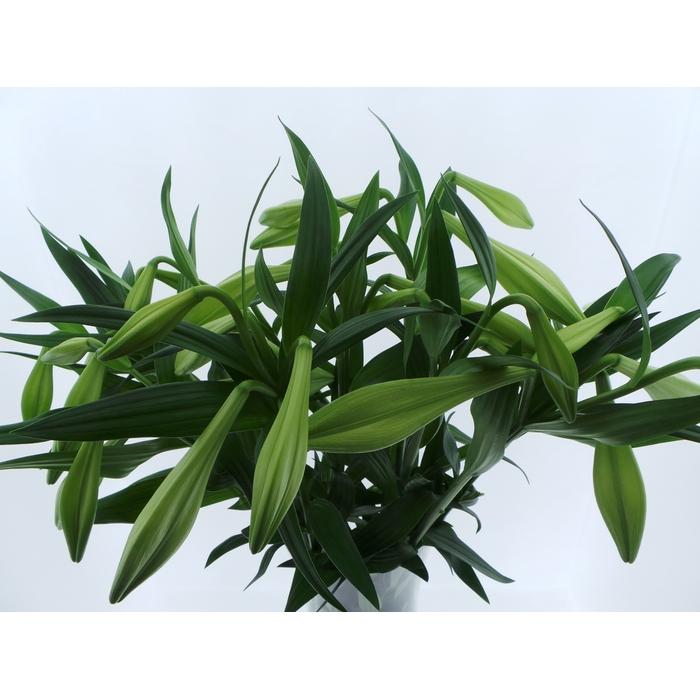 <h4>Bouquet Mono Lelie Longiflorum x5 60cm</h4>