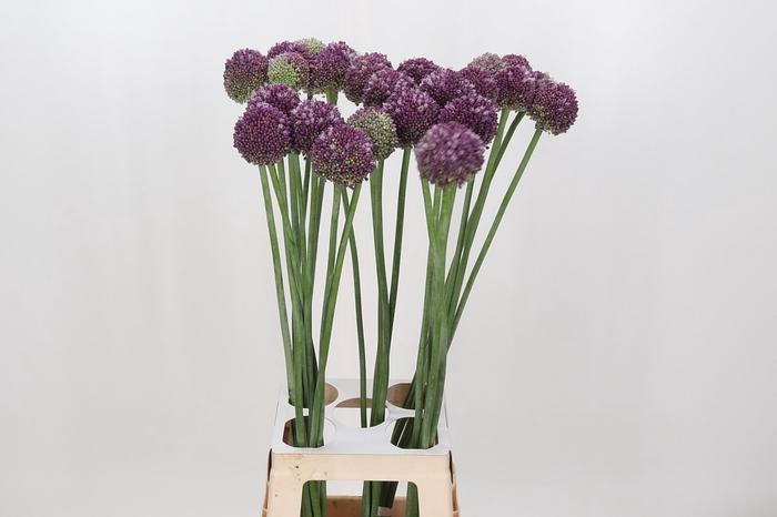 <h4>Allium Lilac Dome</h4>