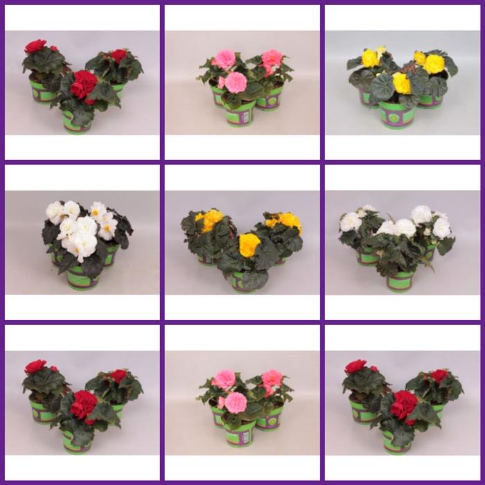 <h4>Begonia Tub. divers kleuren</h4>