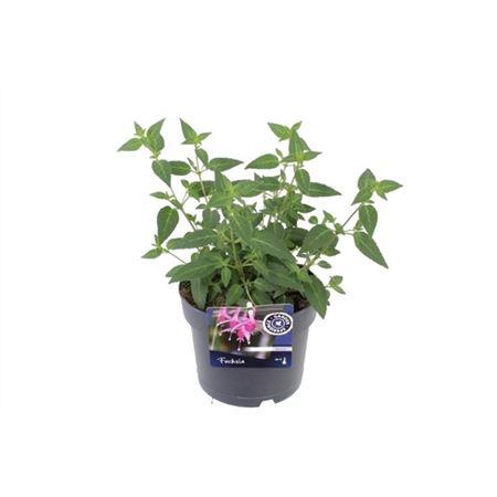 <h4>Fuchsia Beacon</h4>