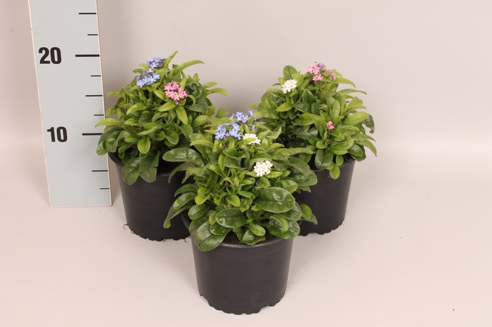 <h4>Myosotis Mon Amie Mix in pot</h4>