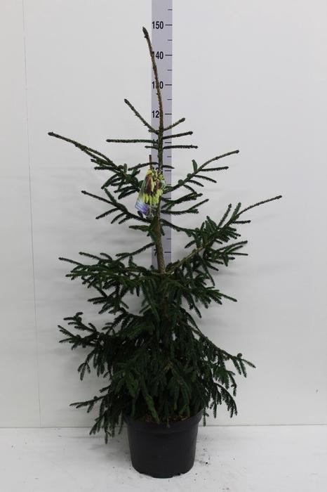 <h4>Picea orientalis 'Aureospicata'</h4>
