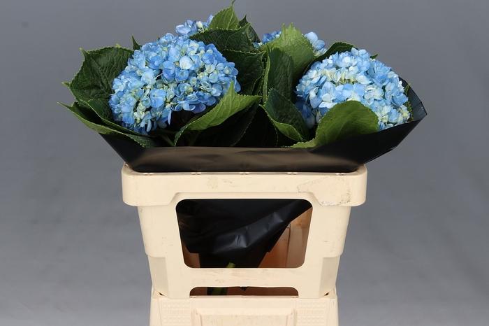 <h4>Hydrangea Shocking Blue Premium</h4>
