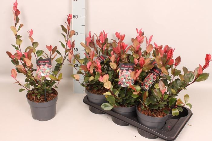<h4>Photinia fraseri 'Little Red'</h4>