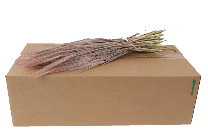 <h4>Hordeum per bunch Frosted Pink</h4>