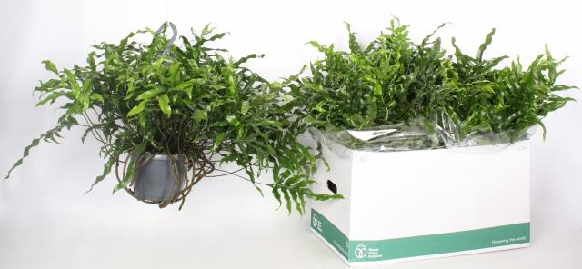 <h4>Microsorum diversifolium 17Ø 30cm</h4>