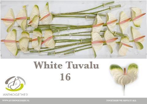 <h4>ANTH A WHITE TUVALU</h4>