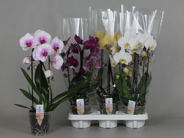 <h4>Phalaenopsis Elegans Cascade 12Ø 45cm 2 pędy 14+ kwiatów</h4>