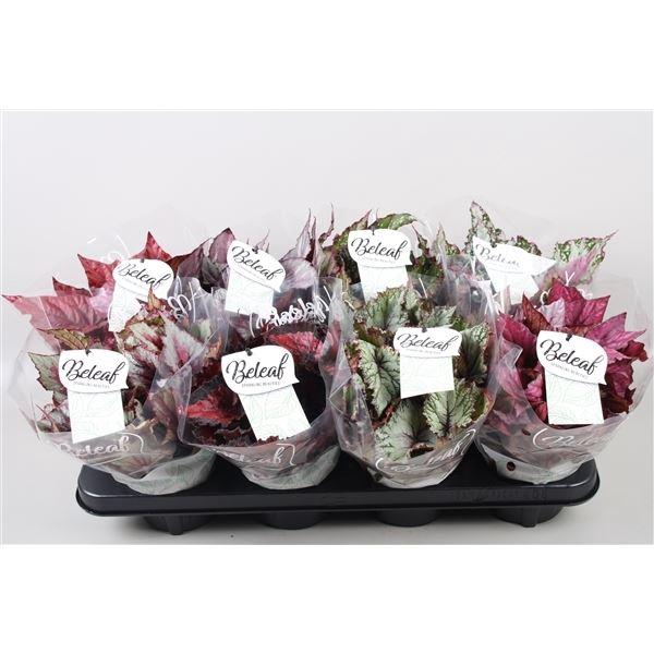 <h4>Begonia Beleaf gemengd</h4>