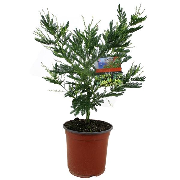 <h4>Acacia armata (Mimosa)</h4>
