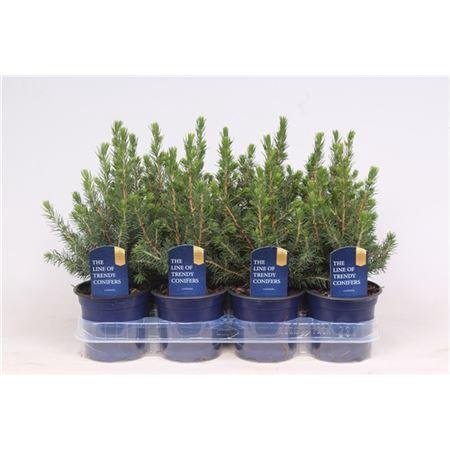 <h4>Picea Glauca Conica</h4>