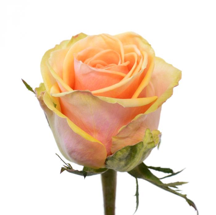 <h4>Rose Alchemy</h4>