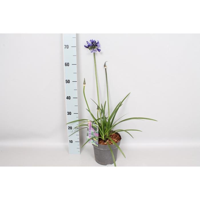 <h4>vaste planten 19 cm  Agapanthus Northern Star</h4>