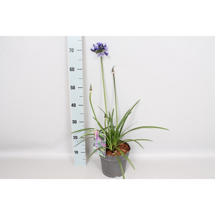 <h4>vaste planten 19 cm  Agapanthus Pitchoune Blue</h4>