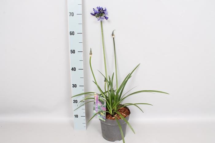 vaste planten 19 cm  Agapanthus Pitchoune Blue