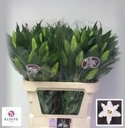 <h4>Lilium oriental Signum</h4>