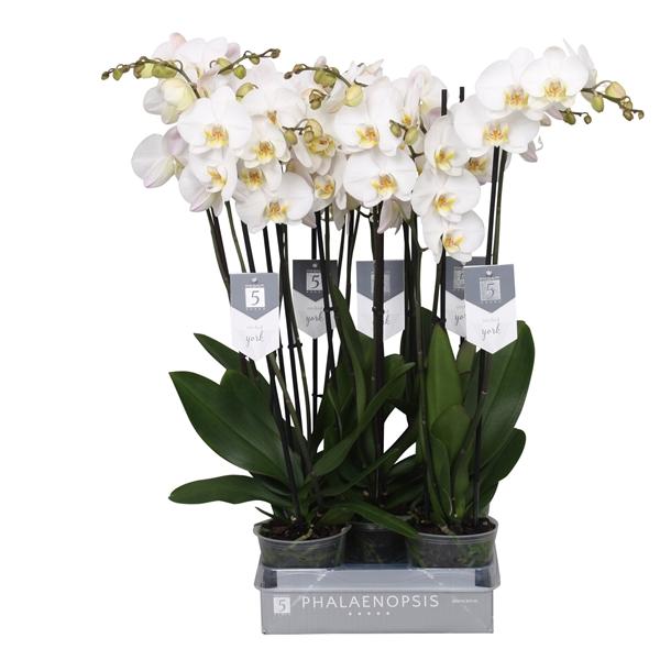 <h4>Phalaenopsis york, 3-tak 22+</h4>