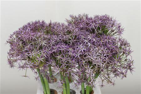 <h4>Allium Cristophii</h4>