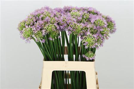 <h4>Allium Senescens Lavender</h4>