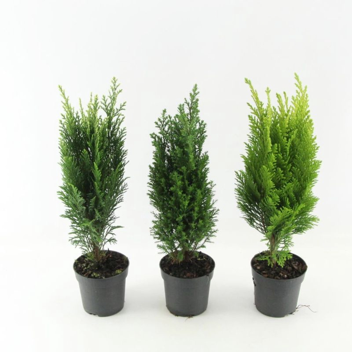 <h4>Coniferen mix</h4>