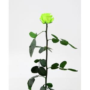 Roos op steel standard Lime green