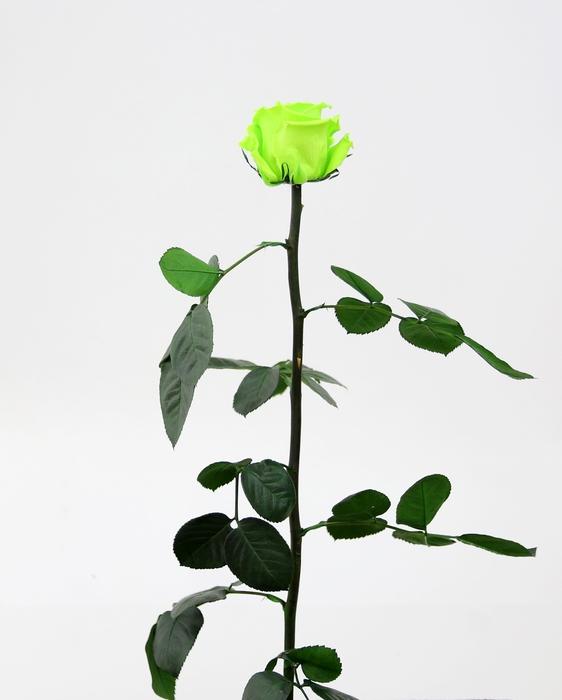 <h4>Roos op steel standard Lime green</h4>
