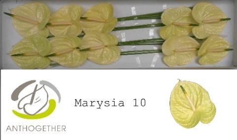 <h4>Anthurium andr. 'Marysia'</h4>