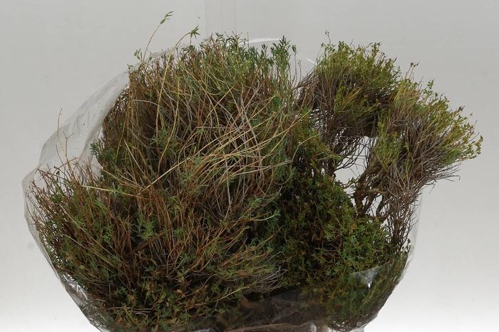<h4>Euphorbia Spinoza Middel (P. Bos)</h4>