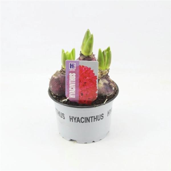 <h4>Hyacinthus Jan Bos</h4>