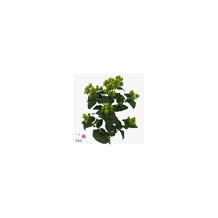 <h4>Hyp Mag Green Power</h4>