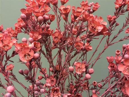 <h4>Waxflower Pink</h4>